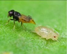Aphelinus adult ovipositing