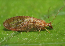 Adult of Hemerobius sp.