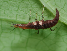 Larva of Hemerobius sp.