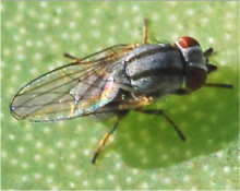 Aphid fly adult
