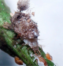 Ceraeochrysa larva with trash