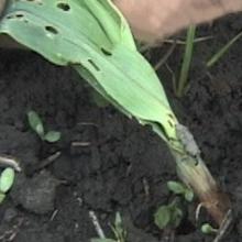 Billbug feeding on corn