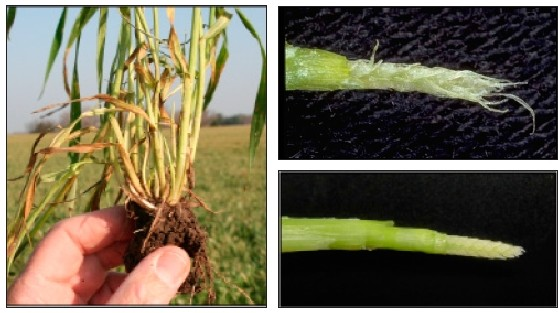 New tillers develop after freeze damage to older tillers