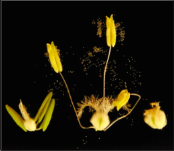 Left–floral parts prior to pollination Middle–anthers shedding pollen Right–fertilized ovule (1-2 day old kernel)