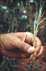 Wheat exhibiting the symptoms of aluminum toxicity, caused by a low soil pH.