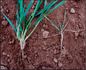 faster emerging plants with infurow application of P