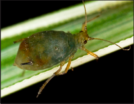 Bird-cherry oat aphid